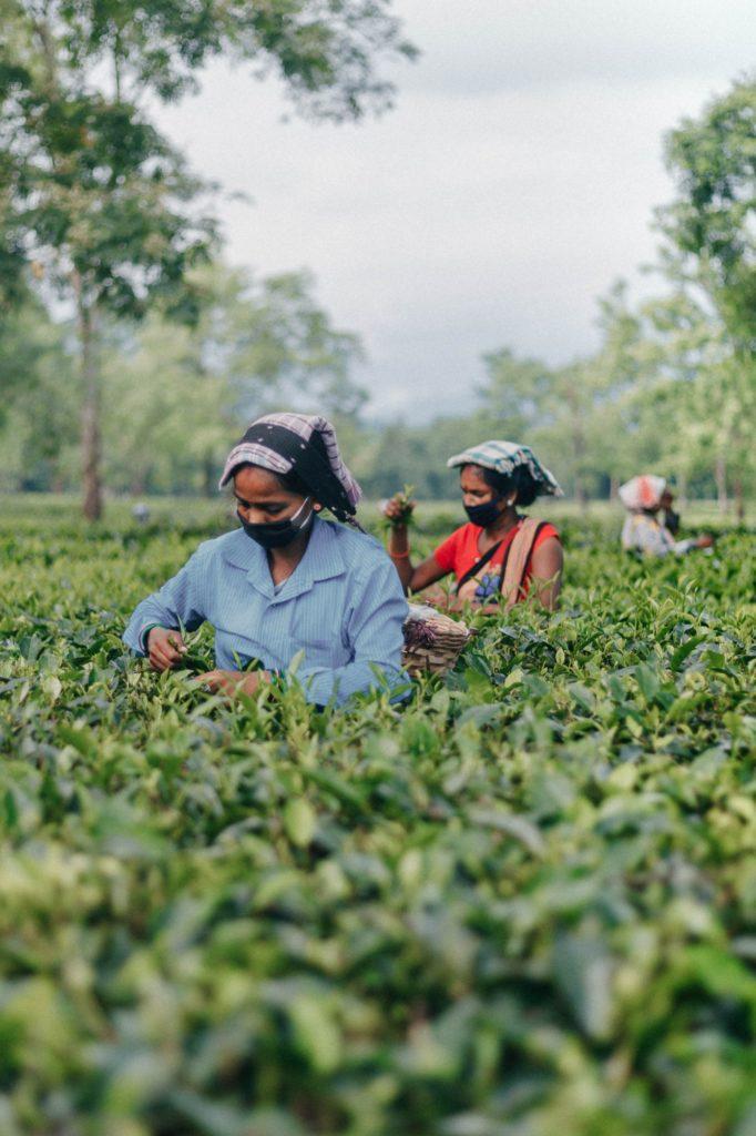 Champ de thé au Sri Lanka
